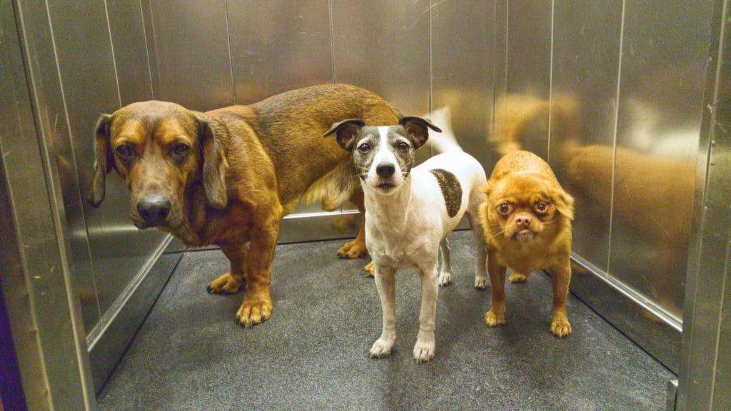 Animais domésticos - cachorros no elevador
