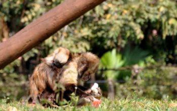 Filhote de macaco-prego-do-peito-amarelo nascido no Parque Ecológico de Americana. (Marilia Pierre)